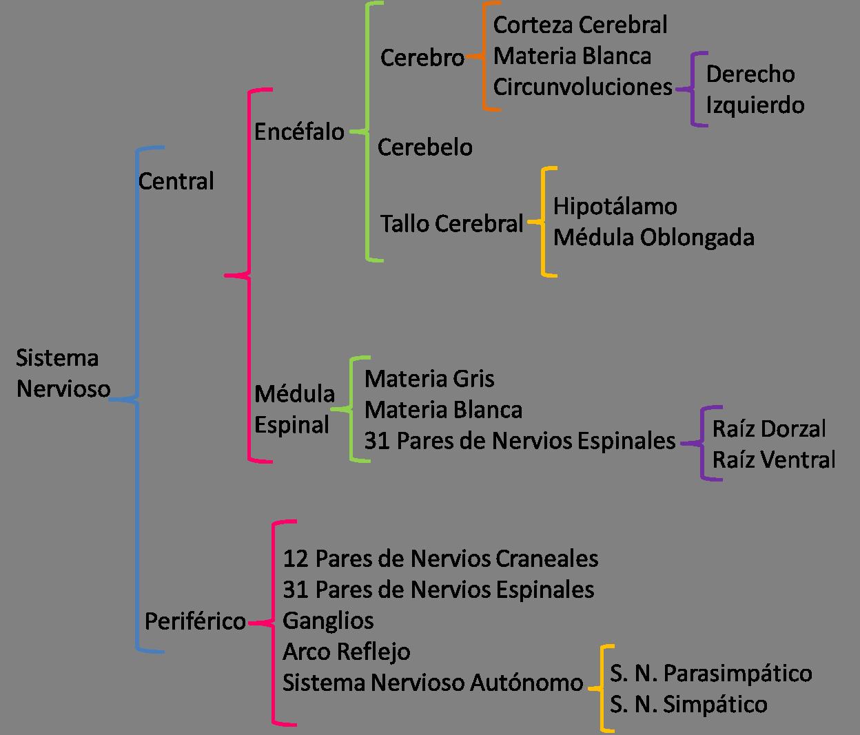 Contemporáneo Diagrama De Nervios Ilustración - Anatomía de Las ...