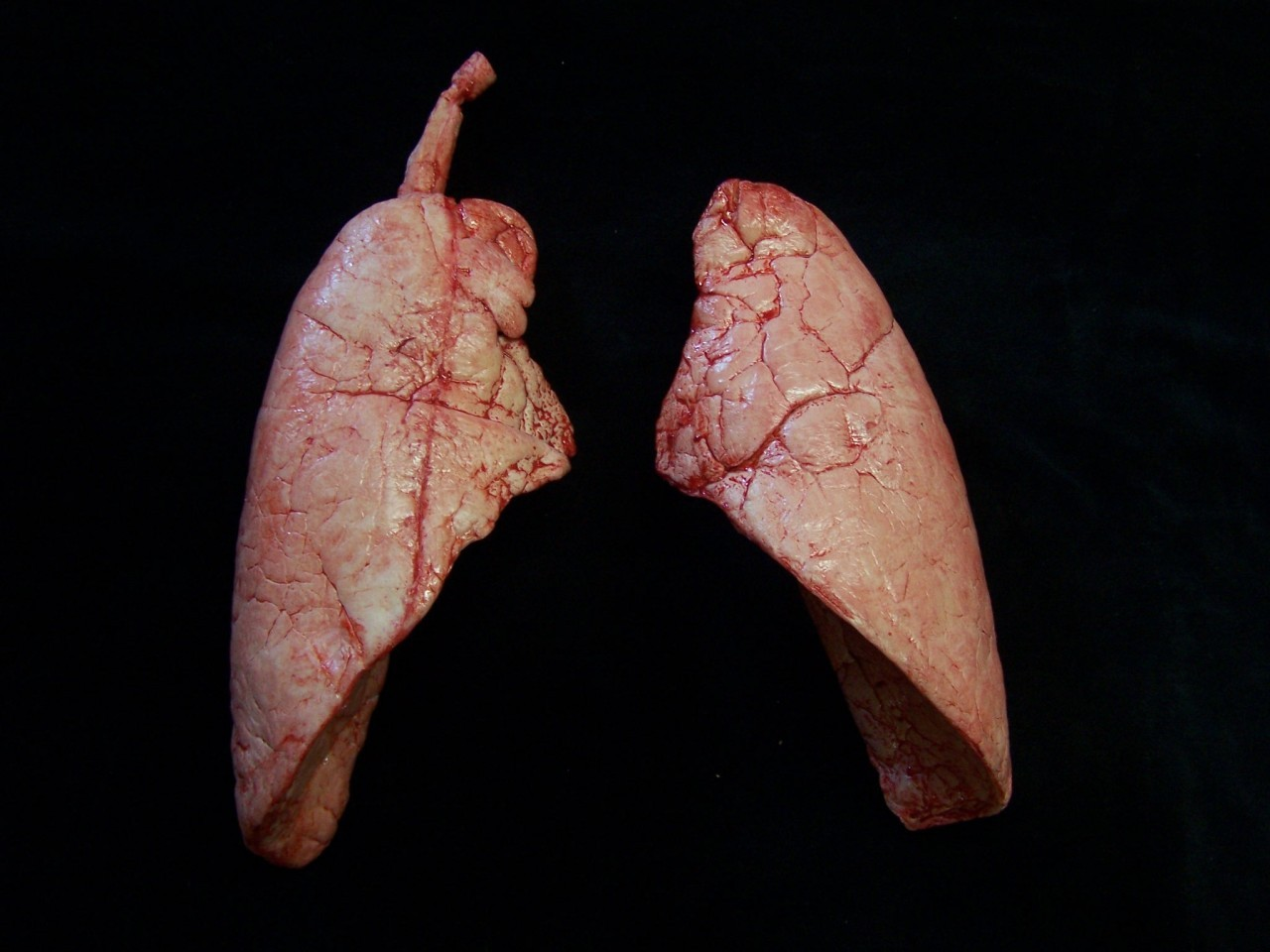 Real Human Lungs Human A...