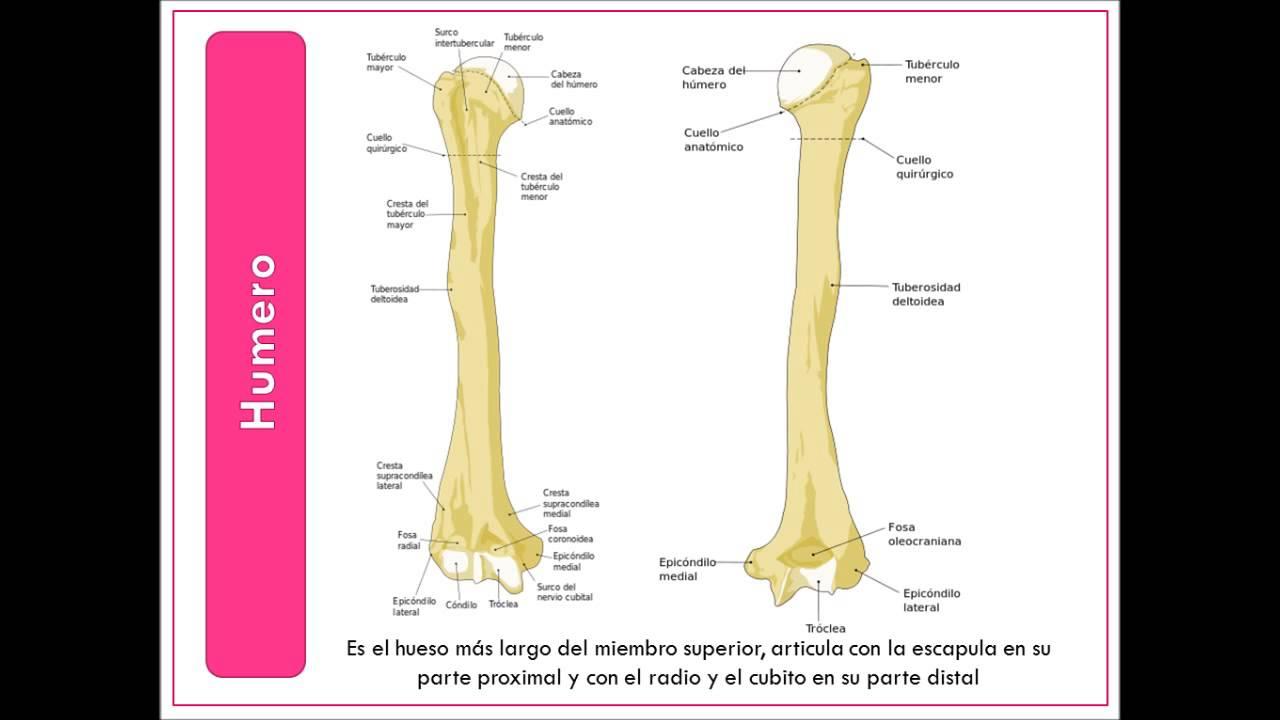 huesos miembro superior.pptx