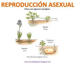 Esporas reproduccion asexual de la
