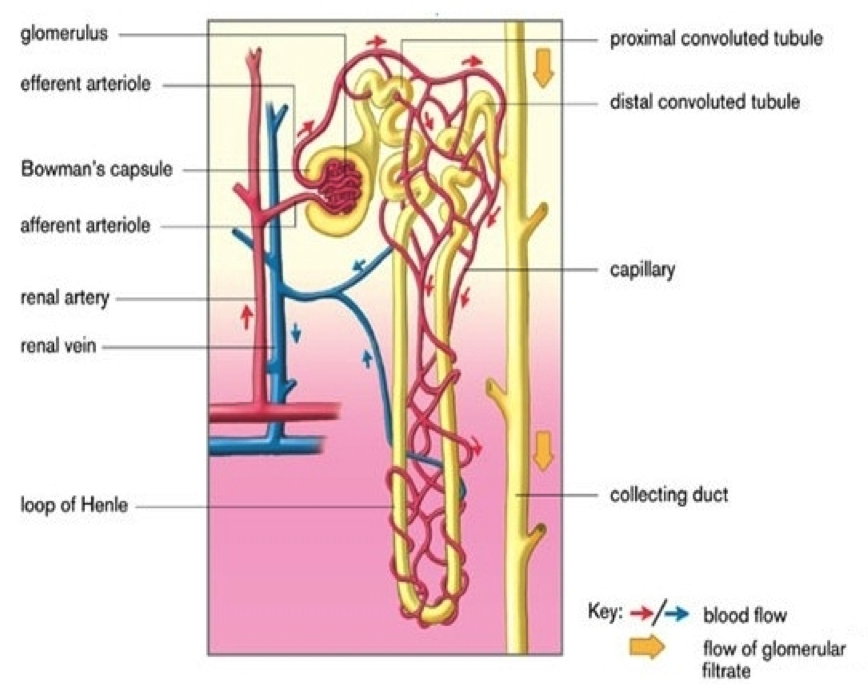 Nephron Urinary System Diagram - Block And Schematic Diagrams •