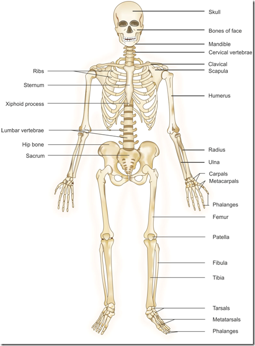 human body systems by chard cargle on emaze, Cephalic Vein
