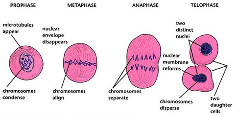 what happens in the four stages of mitosis