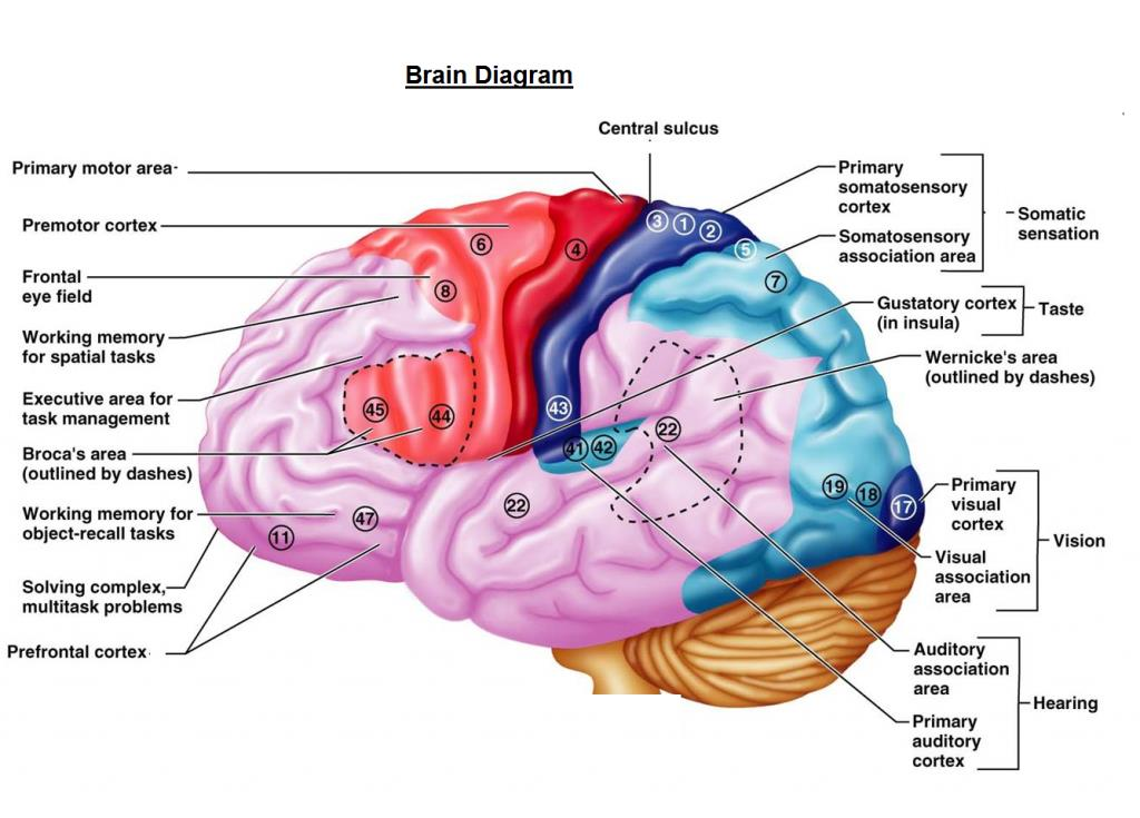 Parts Of The Brain Best Brain 2018