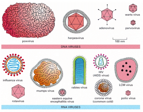 Common Cold Virus Diagram