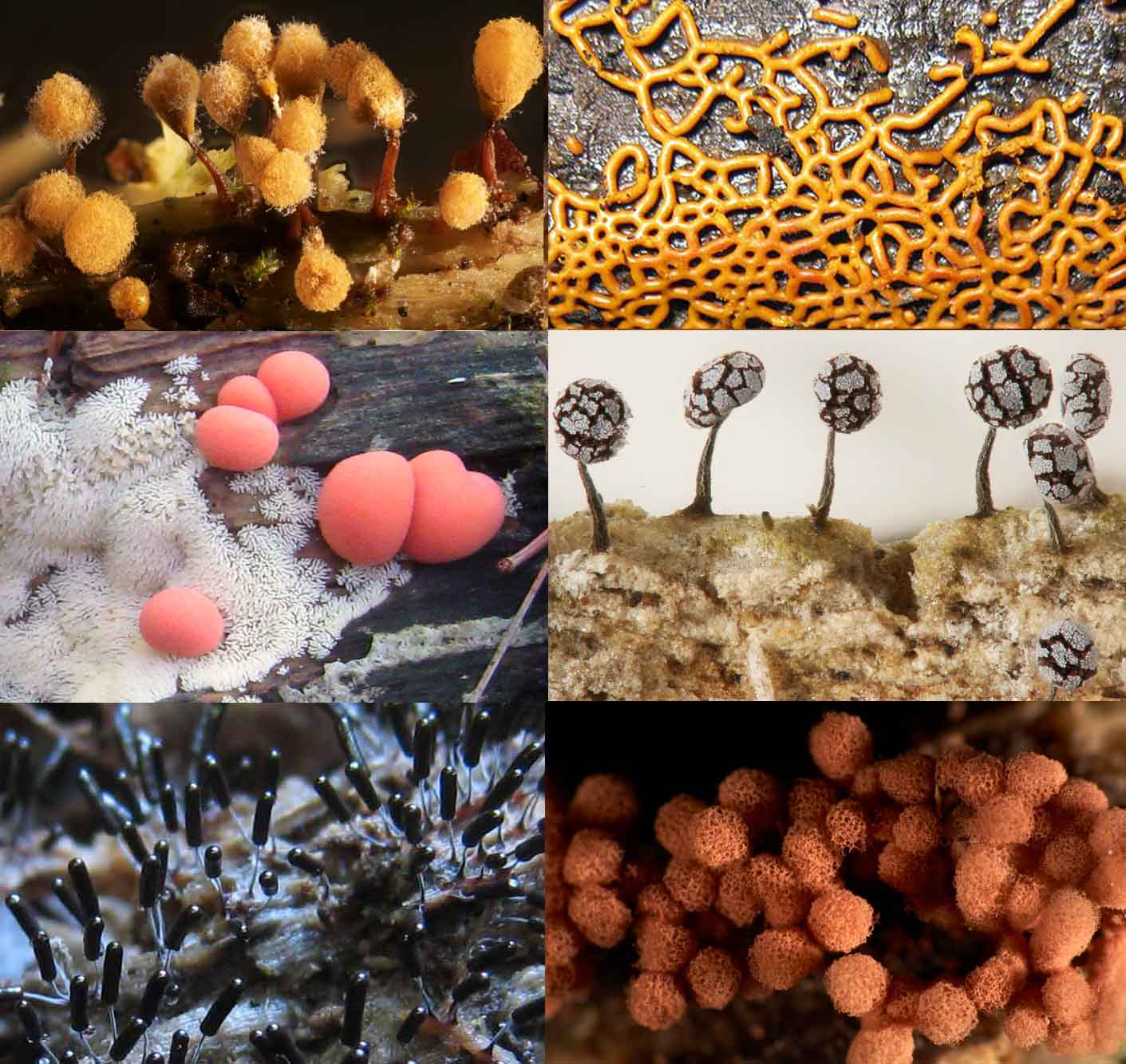 isolation and culture of slime molds essay Slime moulds (slime molds) picture gallery with scientific names and some common english names.