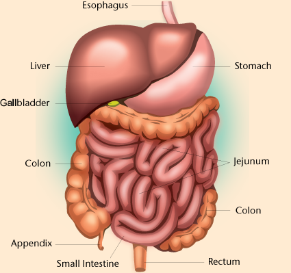 digestive system! on emaze, Human Body