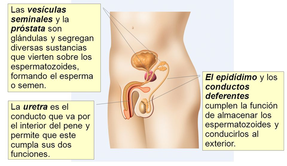 que es la prostata q u e funcion cumple