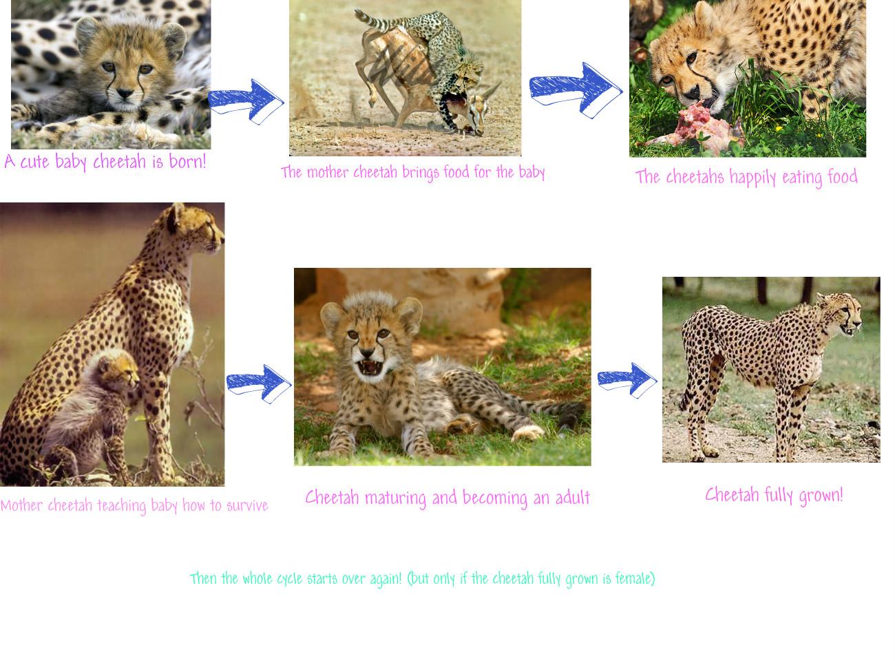 Cheetah life cycle chart - photo#2