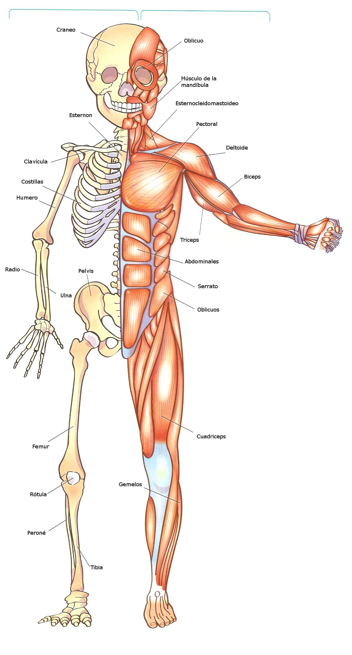 Excepcional Sistema Muscular Para Colorear Componente - Ideas ...
