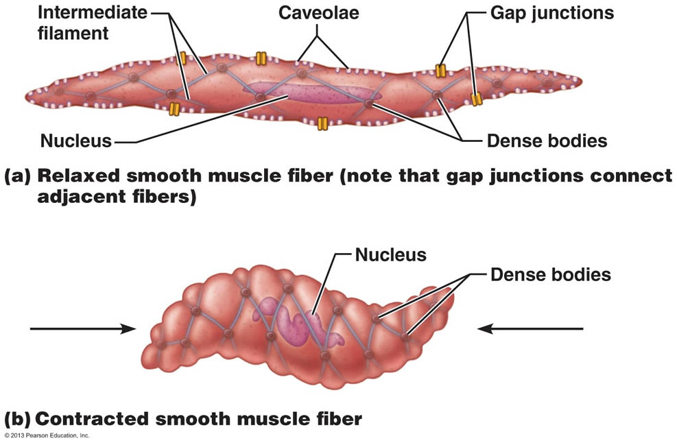 Diagram Of Smooth Muscle Craftbrewswagfo