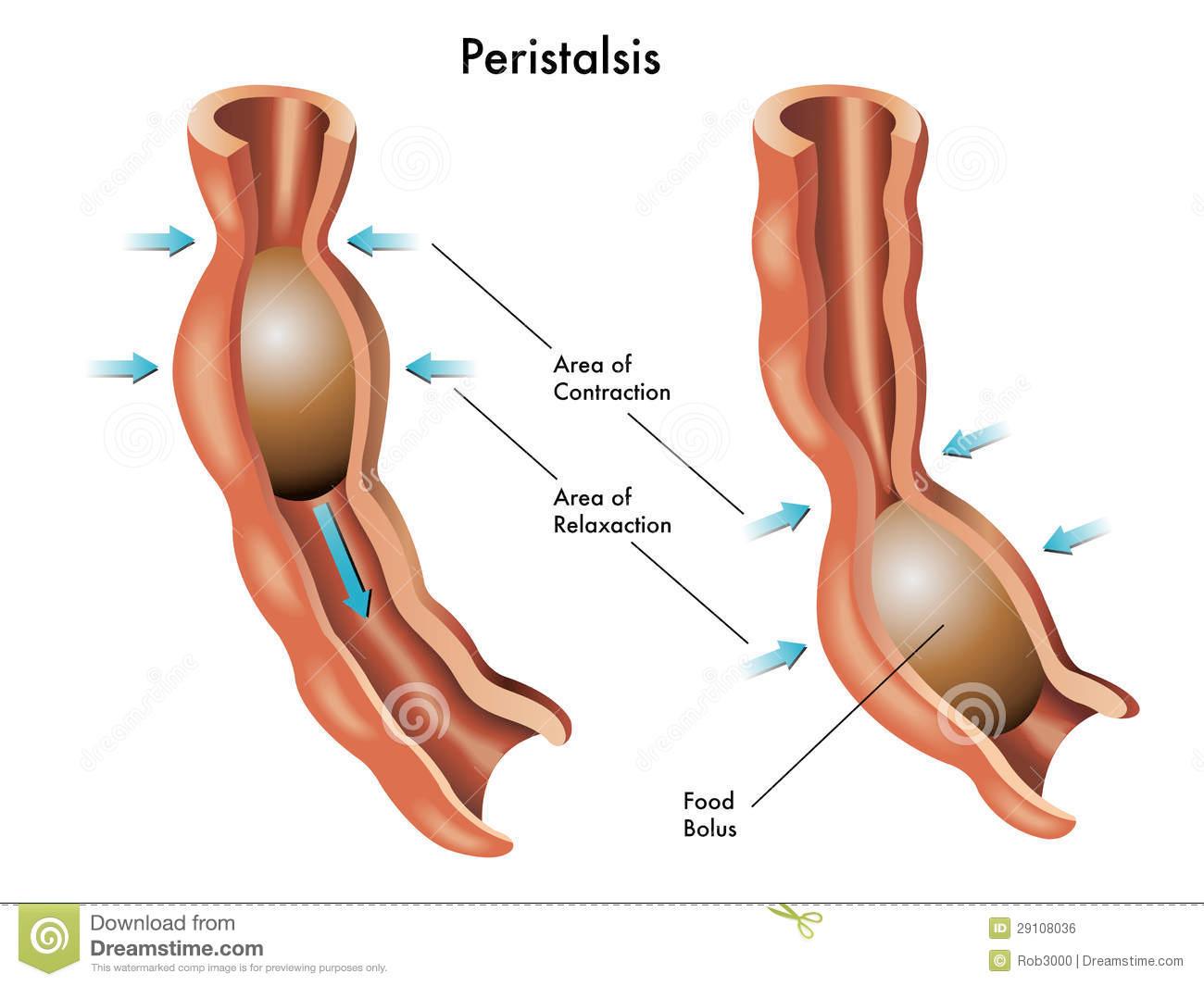 Glosario Sistema Digestivo on emaze