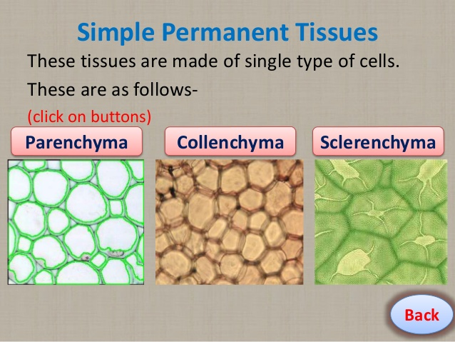sclerenchyma tissues A plant tissue can be defined as a cell or a group of cells dividing, to give rise to large number of cell, which is collectively referred as tissues.