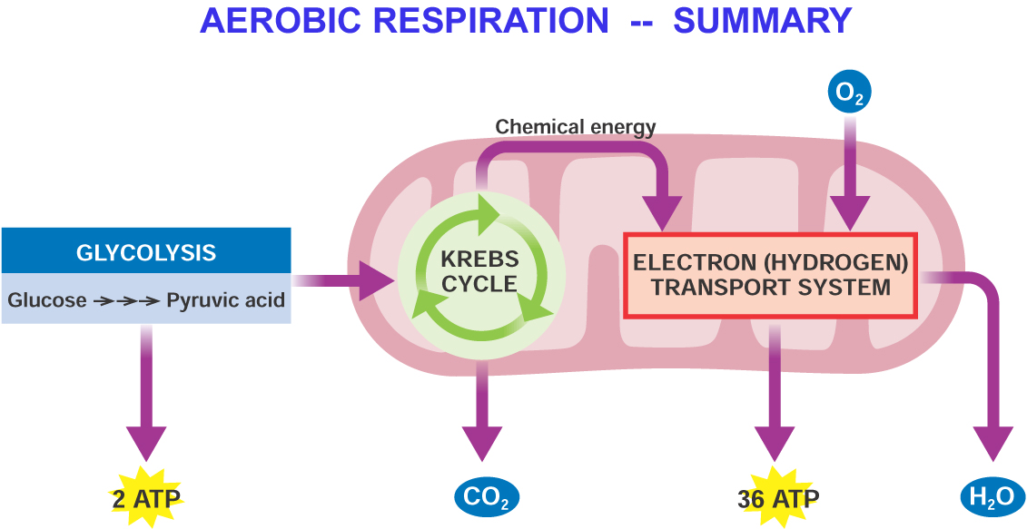 Cellular respiration on emaze aerobic and anaerobic respiration ccuart