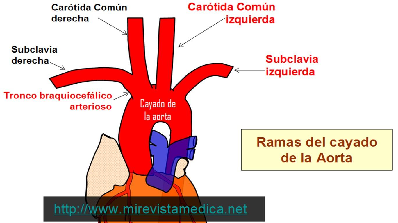 anatomia arterias y venas on emaze