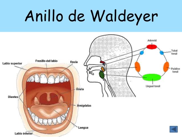 Resumenes Medicina: Anillo linfatico de Waldeyer