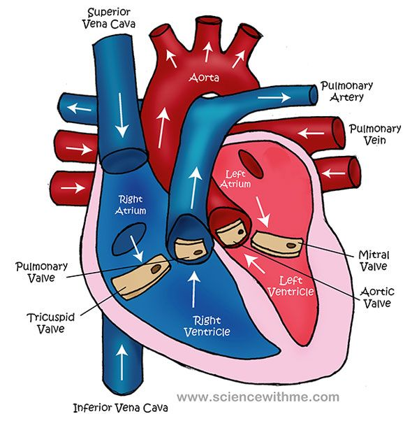 The Circulatory System on emaze