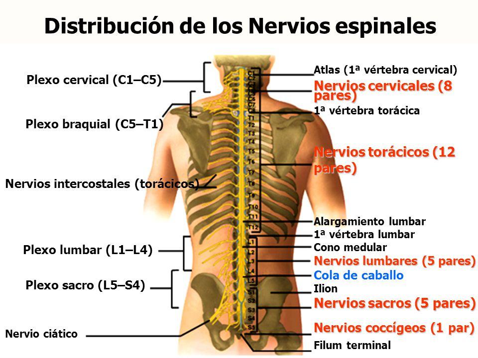 Bonito Nervios Espinales Lumbares Inspiración - Anatomía de Las ...