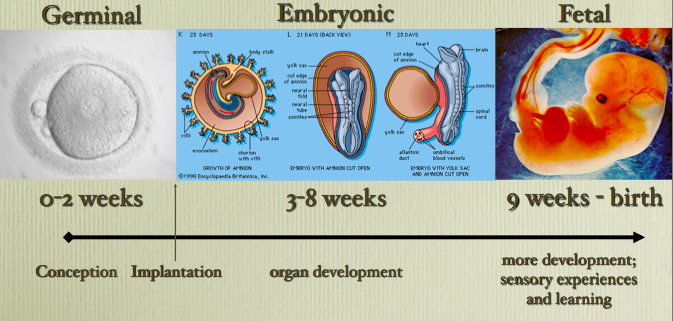 the periods of human prenatal development and the effects of teratogens