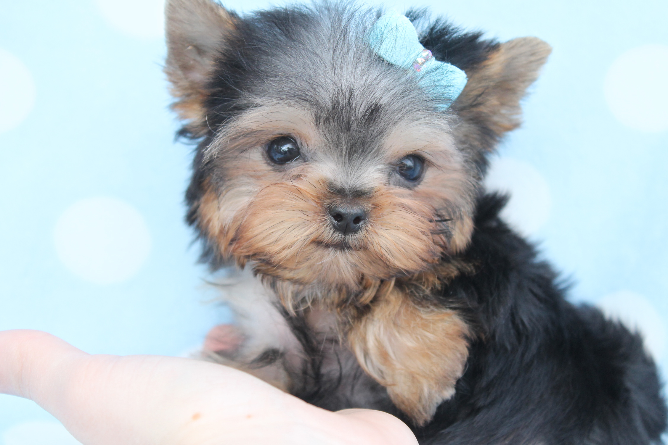 toy yorkie puppies teacup yorkie on emaze 5275