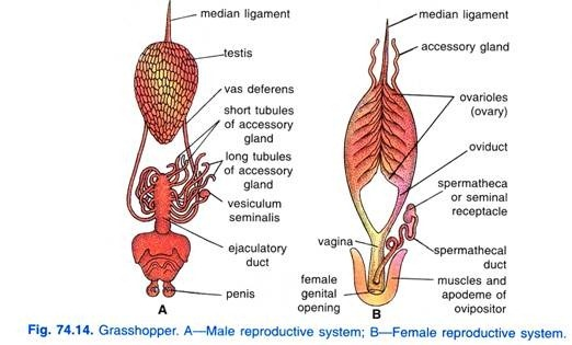 Comparative anatomy project on emaze it has the aedeagus its reproductive organ and during mating releases its spermatophore into the females reproductive organ the ovipositor later laying ccuart Choice Image