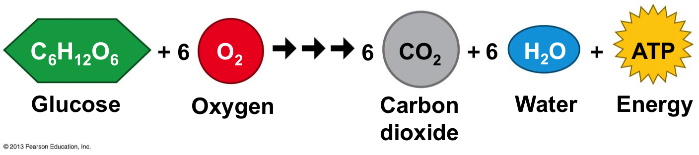 Summary Equation For Cellular Respiration In Words Tessshebaylo