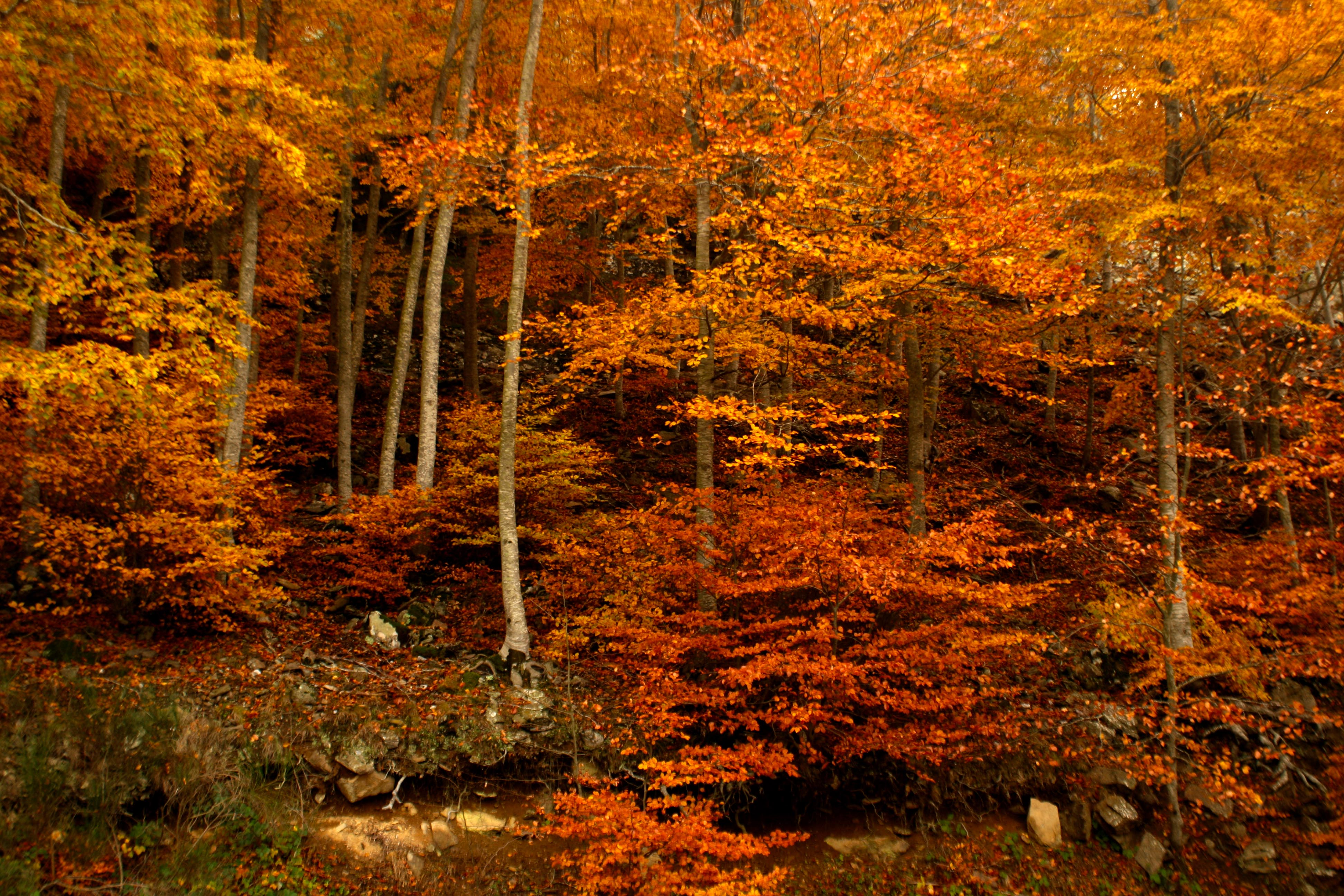 Temperate deciduous forest fall - photo#3