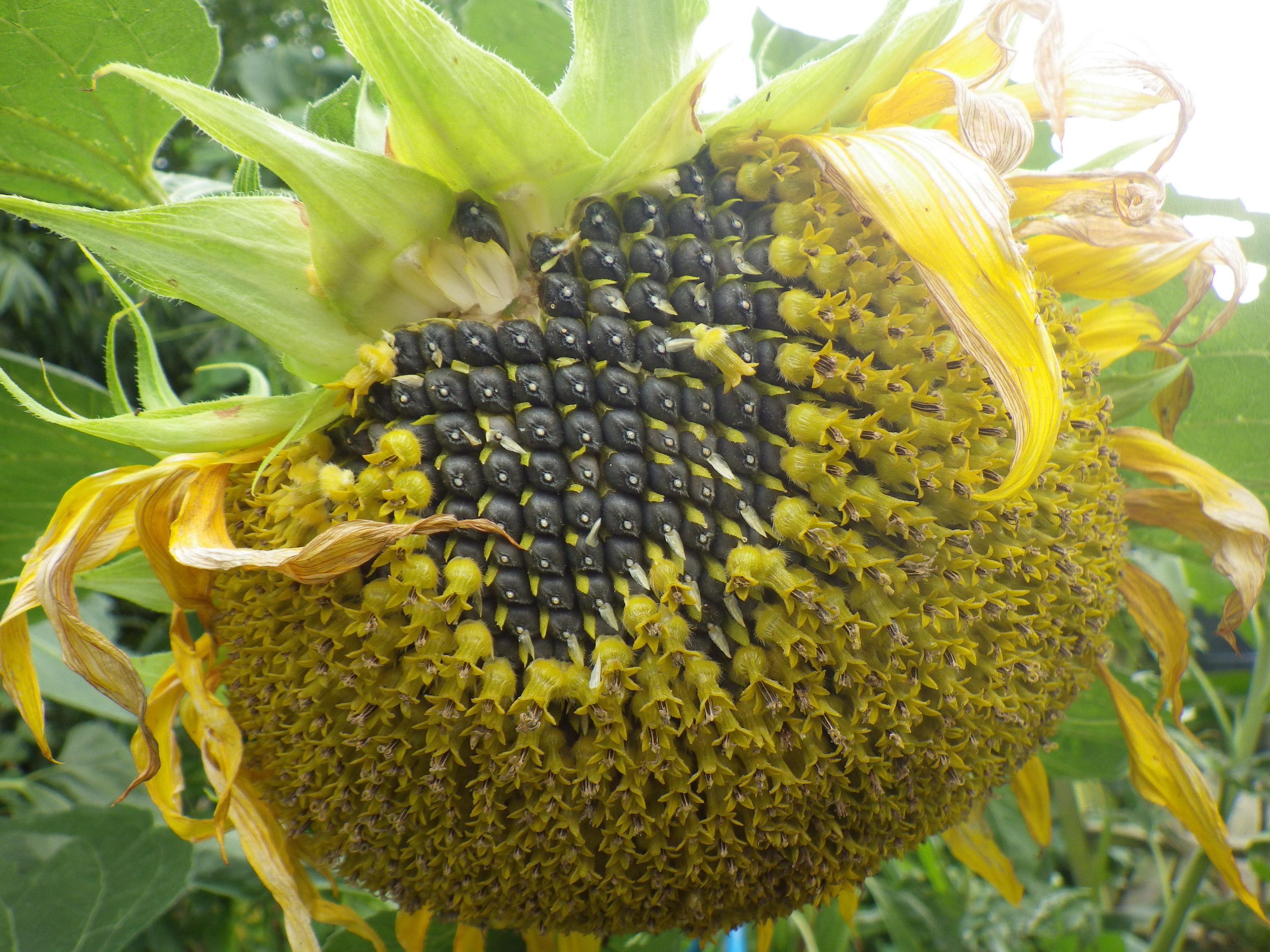 Helianthus annuuss (sunflower)