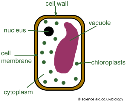 Image result for Cell Wall  png