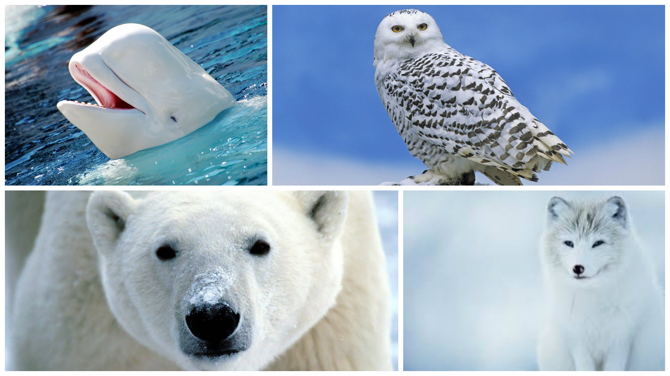 Animals That Live In The Tundra Pictures to Pin on ...