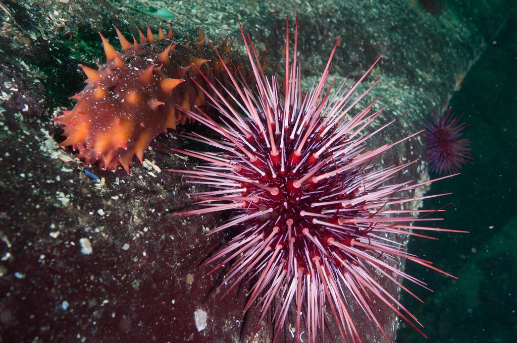 Do sea urchins reproduce sexually or asexually