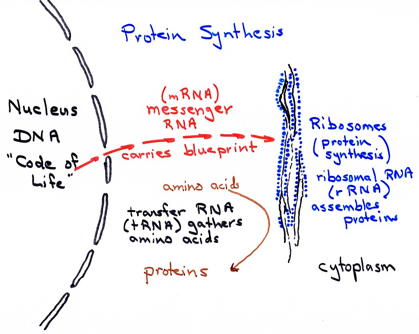 Protein Synthesis Easy Diagram Block And Schematic Diagrams
