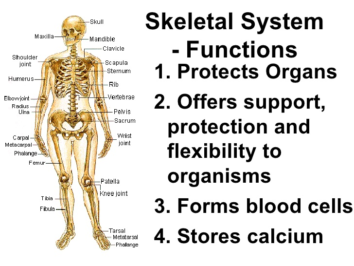 skeletal system functions – citybeauty, Human body
