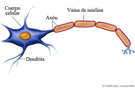Las neuronas y sus mensajes on emaze