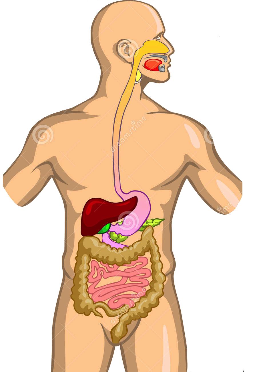 Пищеварительная система в картинках с надписями, прикольных пупсов