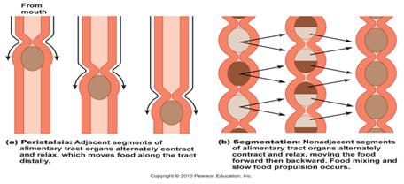 the digestive system on emaze, Cephalic Vein